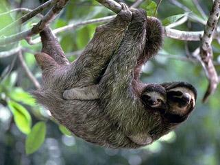 sloth Costa Rica National Park